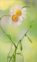 Daisy Heart (1 mini blank card/1 envelope) - Gift Enclosure Card