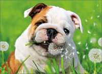 Bulldog Eats Dandelion (1 card/1 envelope) - Get Well Card  INSIDE: Hope you're feeling dandy soon!