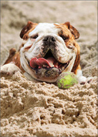 Dog Sand Tennis Ball (1 card/1 envelope) - Birthday Card  INSIDE: Life is Good!  Happy Birthday
