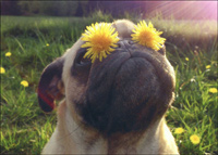 Pug With Dandelion Eyes (1 card/1 envelope) Avanti Funny Dog Birthday Card