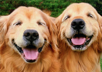 Two Smiling Golden Retrievers (1 card/1 envelope) Avanti Funny Dog Birthday Card