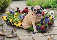 Dog On Flower Flat (1 card/1 envelope) Avanti Funny Pug Mother's Day Card