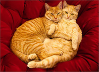 2 Cats Hugging (1 card/1 envelope) - Valentine's Day Card  INSIDE: I love curling up with you. Happy Valentine's Day