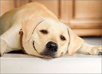 Blonde Lab Relaxing (1 card/1 envelope) - Valentine's Day Card  INSIDE: I'm one lucky dog! Happy Valentine's Day