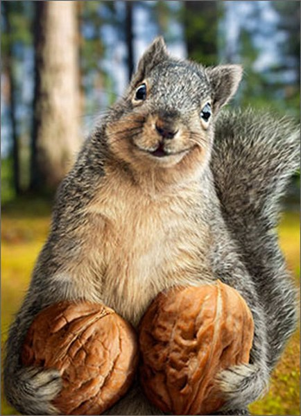 Squirrel Holds Nuts (1 card/1 envelope) - Birthday Card  INSIDE: Grab this year by the walnuts! Happy Birthday