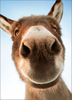 Donkey Face (1 card/1 envelope) - Belated Birthday Card
