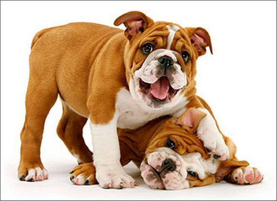 Playful Bulldog Puppies (1 card/1 envelope) Avanti Funny Dog Birthday Card  INSIDE: Age has its privileges! Happy Birthday
