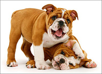 Playful Bulldog Puppies (1 card/1 envelope) - Birthday Card  INSIDE: Age has its privileges! Happy Birthday