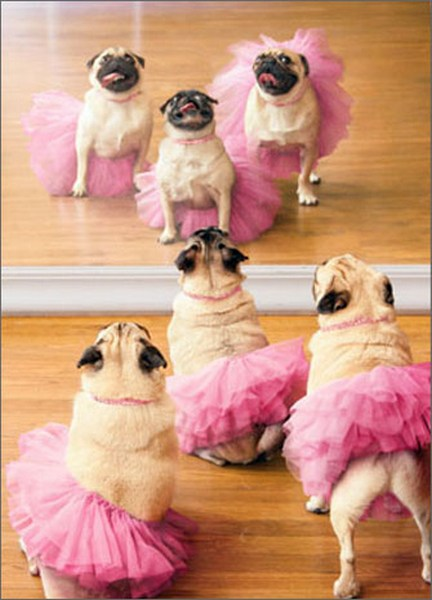 Ballerina Pugs (1 card/1 envelope) - Birthday Card  INSIDE: Go ahead and twirl, 'cause you are tutu fabulous! Happy Birthday
