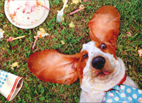 Bassett Laying Down (1 card/1 envelope) - Birthday Card  INSIDE: I shouldn't have eaten the whole cake� especially since it was yours! Happy Birthday