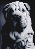 Shar-Pei Wrinkles (1 card/1 envelope) Avanti Funny Dog Birthday Card