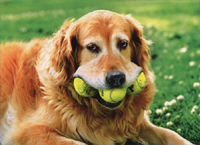 Dog With Tennis Balls (1 card/1 envelope) Avanti Funny Birthday Card