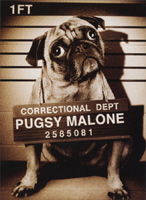 Pugsy Malone (1 card/1 envelope) Avanti Funny Dog Birthday Card