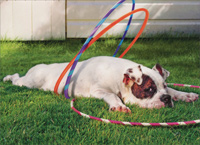 Tired Bulldog With Hula Hoop (1 card/1 envelope) Avanti Funny Dog Birthday Card