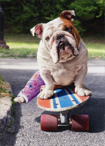 Bulldog with Broken Leg (1 card/1 envelope) Avanti Funny Dog Encouragement Card  INSIDE: Still hell on wheels� Hang in there!