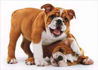 Bulldog Biting Bulldog Ear (1 card/1 envelope) Avanti Blank Card