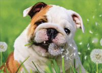 Bulldog Eats Dandelion (1 card/1 envelope) Avanti Blank Card
