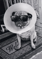 Pug with Cone on Head (1 card/1 envelope) - Get Well Card  INSIDE: You even make Bad look Good! Get Well Soon