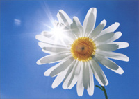 White Daisy And Blue Sky (1 card/1 envelope) Avanti Deluxe Matte Blank Card