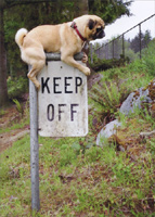 Pug Keep Off Sign (1 card/1 envelope) Avanti Funny Dog Birthday Card