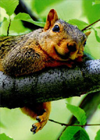 Squirrel On Tree Branch (1 card/1 envelope) Avanti Just for Fun Card