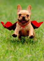 Frenchie Jumping Wearing Red Cape (1 card/1 envelope) Avanti Dog Thank You Card