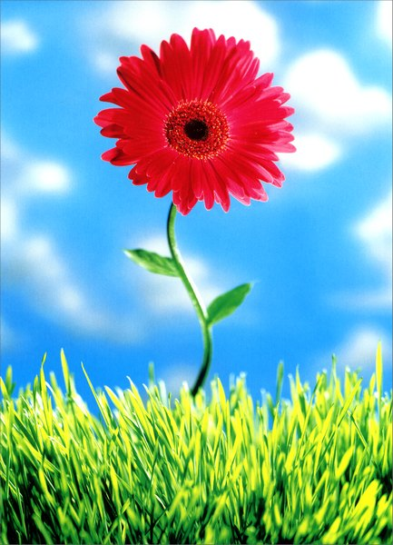 Pink Daisy (1 card/1 envelope) Mother's Day Card - FRONT: No Text  INSIDE: Happy Mother's Daisy!