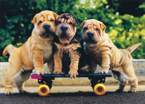 Three Shar Peis (1 card/1 envelope) Birthday Card - FRONT: No Text  INSIDE: Good looks run in the family! Happy Birthday