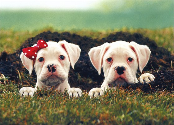 Two Puppies in Hole (1 card/1 envelope) Dog Valentine's Day Card - FRONT: No Text  INSIDE: I dig you, big time!  Happy Valentine's Day