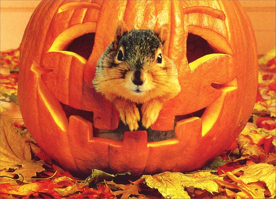 Squirrel in Pumpkin (1 card/1 envelope) - Halloween Card - FRONT: No Text  INSIDE: Peek a BOO!  Happy Halloween