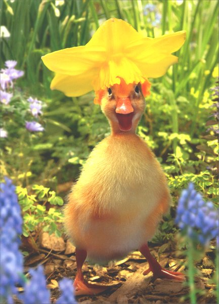 Duckling in Daffodil Bonnet (1 card/1 envelope) Easter Card - FRONT: No Text  INSIDE: ..with all the frills upon it, Happy Easter!