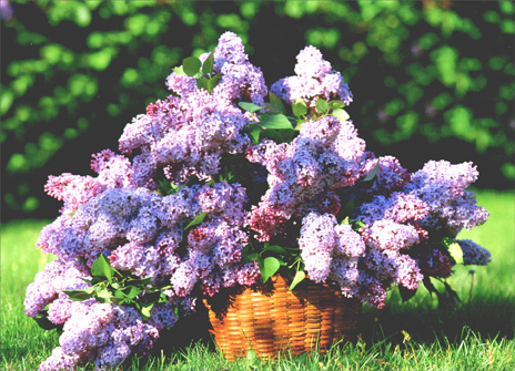 Basket Full of Lilacs (1 card/1 envelope) Mother's Day Card - FRONT: No Text  INSIDE: Mom, you're heaven scent!  Happy Mother's Day