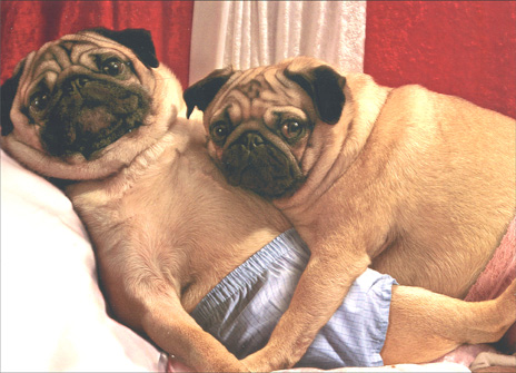 Pug Couple (1 card/1 envelope) Romantic Card - FRONT: No Text  INSIDE: I can't keep my paws off you!