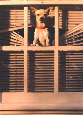 Dog in Blinds at Window (1 card/1 envelope) Chihuahua Friendship Card - FRONT: No text  INSIDE: I really, really miss you!