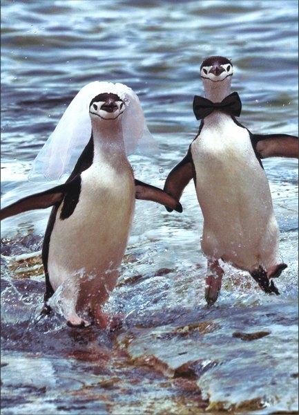 Two Penguins Running (1 card/1 envelope) Wedding Card - FRONT: No Text  INSIDE: You two are so cool together!  Congratulations on your Wedding