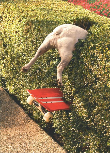 Skateboard Dog in Hedge (1 card/1 envelope) Funny Birthday Card - FRONT: No Text  INSIDE: At a certain age, everything is an Extreme sport! Happy Birthday