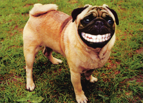 Smiling Pug with Human Teeth (1 card/1 envelope) Funny Birthday Card - FRONT: A pug has a huge grin with loads of teeth  INSIDE: Laugh, and the world laughs with you. Make a fool of yourself, and you're on your own. Happy Birthday!
