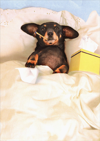 Dachshund In Bed (1 card/1 envelope) - Get Well Card - FRONT: No Text  INSIDE: Sorry you're feeling a little ruff around the edges.   Get well soon!