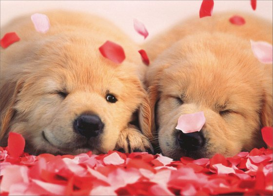 2 Puppies with Rose Petals Avanti Golden Labrador Retriever Valentine's Day Card - FRONT: No Text  INSIDE: Hugs and kisses! Happy Valentine's Day
