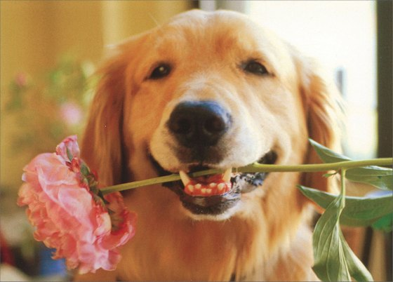 Golden with Pink Flower in Mouth Avanti Golden Labrador Retriever Mother's Day Card - FRONT: No Text  INSIDE: It's an extra hugs and kisses kind of day! Happy Mother's Day