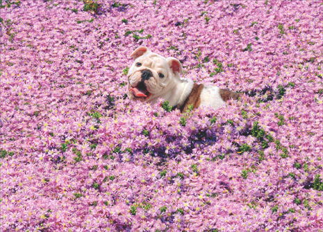 Bulldog In Pink Flowers (1 card/1 envelope) Avanti Funny Thank You Card - FRONT: No text  INSIDE: Thanks a million!