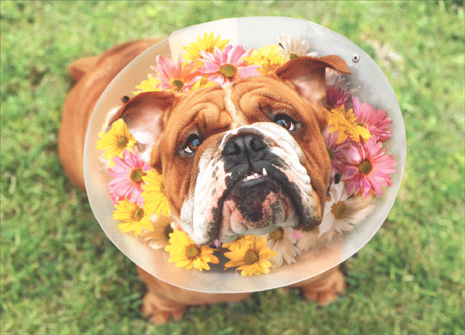 Dog With Collar Of Flowers (1 card/1 envelope) Avanti Funny Get Well Card - FRONT: No text  INSIDE: You look better already! Get well soon