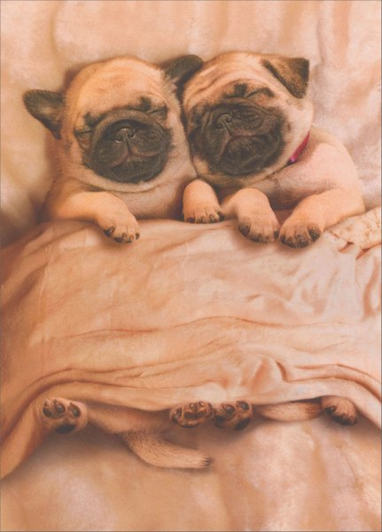 Pug Puppies (1 card/1 envelope) Avanti Funny Dog Valentine's Day Card  INSIDE: Snuggle enclosed! Happy Valentine's Day