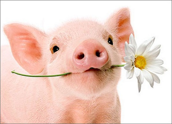 Pig Holds Flower (1 card/1 envelope) Avanti Blank Card