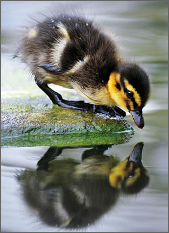 Duckling Sees Reflection (1 card/1 envelope) Avanti Encouragement Card  INSIDE: Big things start with little steps.
