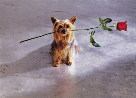 Yorkie With Rose In Mouth (1 card/1 envelope) - Blank Card