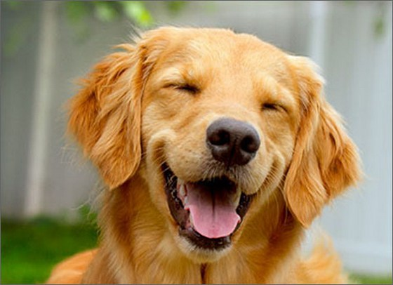 Cd Smiling Golden Retriever Birthday Card on Yellow Greeting Cards