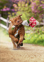 Dog Carrying Bouquet Of Flower (1 card/1 envelope) Avanti Valentine's Day Card