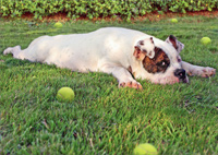 Tired Bulldog With Tennis Ball (1 card/1 envelope) Avanti Dog Father's Day Card