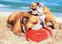 Bulldog And Son In Sand (1 card/1 envelope) - Father's Day Card  INSIDE: Thanks, Dad! Happy Father's Day